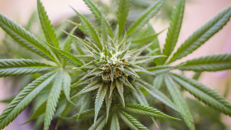 Questions To Ask Before Buying Cannabis In Bulk